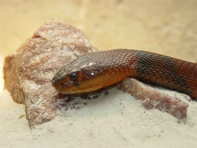 A Red Spitting Cobra